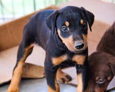 www.elitek-9.com  #doberman, #protectiondogs, #CEO, #militaryk9, #exotics Doberman Pinscher, Exotic Cars, Puppies, Dogs, Animals, Cubs, Animales, Animaux, Pet Dogs