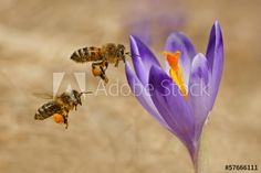 Find honey bee images stock images in HD and millions of other royalty-free stock photos, illustrations and vectors in the Shutterstock collection. Thousands of new, high-quality pictures added every day. Honey Bee Images, Royalty Free Photos, Bloom, Clip Art, Bees, Illustration, Vectors, Flowers, Pictures