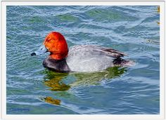 Redhead Male 2 Swimming Irondequoit Bay Outlet 15-03-13