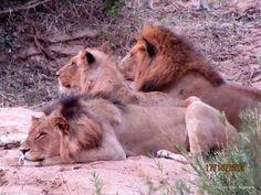Three lions...