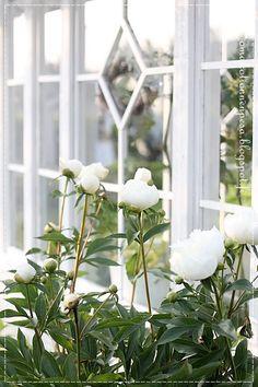 pure white peonies