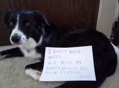 """I don't have sheep...so I herd my daddy around the house instead."" ~ Dog Shaming shame - Border Collie - Mom is not sheep-ish!"