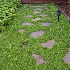 Creeping Speedwell Ground Cover Seeds (Veronica Repens) 50+Seeds - Under The Sun Seeds  - 1