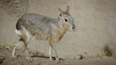 "Say hello to Bridgette and Luigi! This pair of Patagonian mara recently moved into the giant anteater exhibit at the San Diego Zoo. Patagonia mara are also called ""cavy"" and pairs are monogamous. They..."