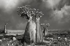 """asylum-art: """" Ancient Trees: by Beth Moon Woman Spends 14 Years Photographing World's Oldest Trees: Beth Moon, Based in San Francisco, photographer Beth Moon has been travelling for 14 years all. Socotra, Le Baobab, Tree Woman, Moon Photography, Photography Magazine, Old Trees, Tree Forest, Desert Rose, Natural World"""