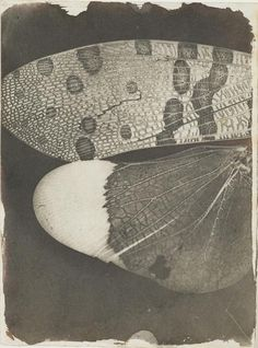 William Henry Fox Talbot Photomicrograph of insect wings, as seen in a solar microscope, c National Media Museum UK History Of Photography, A Level Photography, Film Photography, Animal Photography, Edward Steichen, Alfred Stieglitz, Henry Fox Talbot, Image Positive, Alternative Photography
