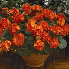 Maverick Orange geranium seeds - Garden Seeds - Annual Flower Seeds