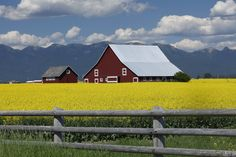 Canola Fields of The Flathead Valley