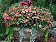 Ingredients: Dragon Wing Begonias, New Guinea Impatiens, 'Silver Falls' Dichondra, Creeping jenny.Light Requirement: Morning sun and afternoon shade. Silver Falls Dichondra, Raised Garden Beds, Raised Gardens, Container Flowers, Garden Projects, Garden Ideas, Garden Landscaping, Landscaping Ideas, Amazing Flowers