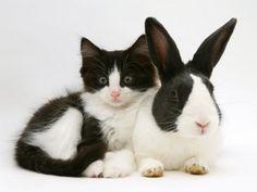 Jane Burton - Black Dutch Rabbit with Black-And-White Kitten