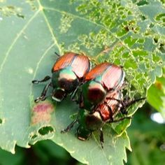 Japanese Beetles, commonly known as June Bugs, are major pests and can be hard to get rid of. But they are not invincible.