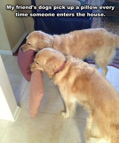 Golden retrievers love doing this