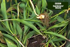 Monty Don shows how easy it is to lift and store tulips, and reveals why it's important to leave the foliage on, in this quick video clip on gardenersworld.com.