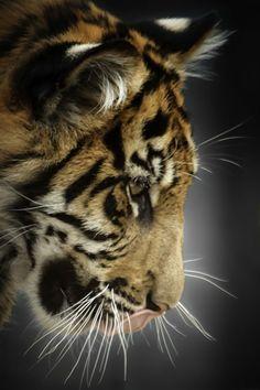 Sumatran Tiger Cub: