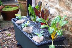 Rainbow Chard and Savoy Cabbages growing in an EarthBox. The EarthBox is a specialised container gardening system, it is easily moveable being on wheels and is self watering.