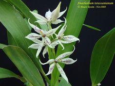 Anacheilium terassanianum
