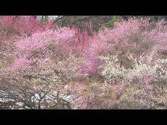 青梅「吉野梅郷」Yoshino Japanese Plum Forest