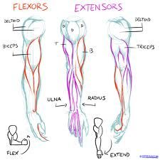 How to draw biceps and triceps