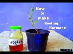 How to Make Rooting Hormone At Home || 3 Ways to Make Natural Rooting Hormone -October 2016 - YouTube