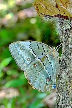 Ventral view of a female Stichophthalma louisa siamensis(Siamese Junglequeen)(ผีเสื้อนางพญาสยาม) photographed by Narin Somthas in Thailand