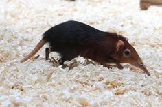 Black and Rufous Giant Elephant Shrew (Rhynchocyon petersi), via Flickr.