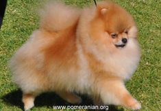 Pomeranians Dogs Dog Park Dangers for Little Dogs. How to keep your Pomeranian safe at a dog park. When shouldn't you take your Pomeranian to a park Siberian Husky Puppies, Pomeranian Puppy, Husky Puppy, Cute Little Puppies, Little Dogs, Cute Dogs, Puppy Facts, Save A Dog, Dog Information