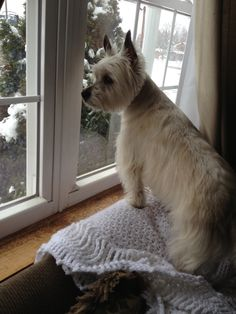 Carin terrier Buddy  watching it snow❄