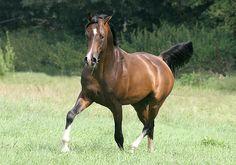 MANUSKRIPT (RU) 2001 Dark Bay Straight Russian Arabian stallion. Piligrim {Gips x Postup by Suvenir} x Melodrama {Mukomol x Molva by Aswan} Bred by Tersk Stud, Russia. Sold in Tersk Holland Sale.