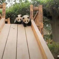 Niedlicher Panda, Panda Funny, Cute Panda, Panda Bears, Baby Animals Super Cute, Cute Little Animals, Cute Funny Animals, Cute Puppies, Cute Dogs