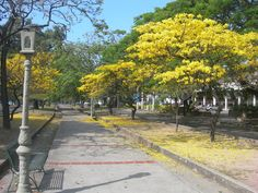 Araguaneyes, árbol nacional, Av. Las Delicias, Maracay, Venezuela