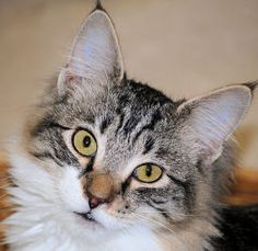 Nako is an adoptable Domestic Medium Hair Cat in Ponderay, ID. Seven of us 'N' kittens were turned in to the shelter in June. We all came in with fleas, ear mites, dirty and underfed. That is all behi...
