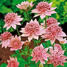 "Rosea Astrantia - perennial 18-20"" tall. Likes shade-part-shade. Blooms spring-early summer."