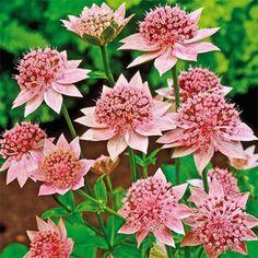 "Rosea Astrantia - perennial 18-20"" tall. Likes shade-part-shade. Blooms spring-early summer."