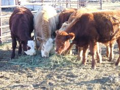 cattle crosses, charlois-hereford-angus-limmo