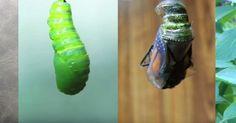 La maravillosa transformación de una oruga en una mariposa monarca