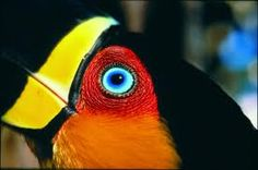 Ariel/Channel Billed Toucan (Ramphastos vitellinus ariel) by Araquem Alcantara. Araquem Alcantara, Amazon Rainforest Animals, Arte Popular, Zoology, Color Of Life, Blue Bird, Science Nature, Color Patterns, Animal Pictures