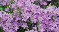 Fleurs violettes : une espèce à la floraison longue. Conseils, astuces