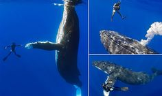 The moment a diver 'shakes hands' with a humpback whale in Hawaii