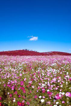 Hitachi Seaside Park Japan | Cosmos - Hitachi Seaside Park, Japan | Flickr - Photo Sharing!