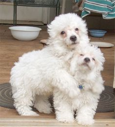 bichon-poo are very affectionate