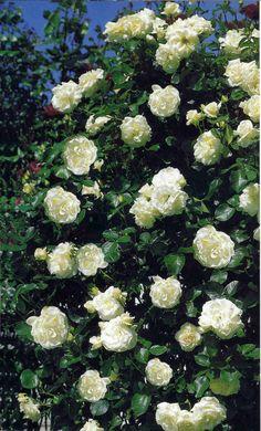 Schneewalzer®. Van de witte klimrozen veruit de beste. Zowel qua gezondheid als bloeikracht. De grote edel gevormde zuiver witte bloemen vormen een prachtig decoratief contrast met de gezond glimmende donkergroene bladeren. De plant heeft vooral na het tweede groeiseizoen een goed vertakkende groeiwijze waarbij veel grondscheuten worden gevormd.