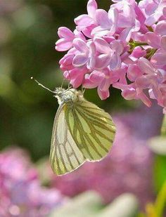 Green Butterly on Pink Flowers