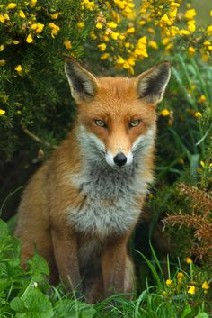 """""""_W9H8409 - Red Fox (Vulpes vulpes) 