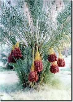 How to Grow Date Palm Tree, Growing Medjool Dates Fruit Plants, Fruit Trees, Trees To Plant, Palm Trees, Tropical Garden, Tropical Plants, Agriculture, Dates Tree, Plante Carnivore