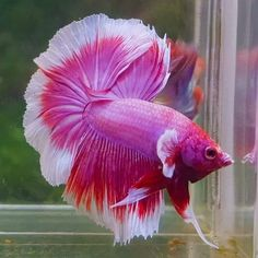 Knowing All Types Of Betta Fish - By Tail, Pattern And Color With Photo And Description - The betta fish is also called Siamese fighting fish is one of the popular fish are keeping by fish hobbies. Tropical Freshwater Fish, Freshwater Aquarium, Tropical Fish, Pretty Fish, Beautiful Fish, Betta Fish Types, Beautiful Sea Creatures, Beta Fish, Siamese Fighting Fish
