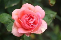 Watch the Roses Grow Add a tablespoon of Epsom salt a week to the soil and watch your roses grow.