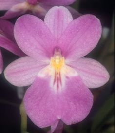 Orchid: Miltoniopsis bismarkii