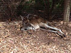 Kangaroo at the Perth Zoo