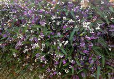 Hardenbergia violacea con abundante floración desde finales del invierno y durante el comienzo de la primavera