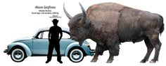 Bison size compared to human - photo#4